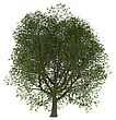 3D Illustration Of An Ash Tree Isolated On White Background stock illustration