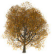 3D Illustration Of An Ash Tree Isolated On White Background