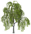 3D Illustration Of A Green Willow Or Sallow Or Osier Isolated On White Background