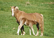farm foals horses mammal animal stock image