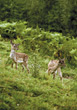 hill wild fawns wildlife woods mammal stock photo