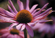 nature petals daisy pink stem flower stock photography