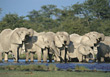 elephants wild animals herd trunks wildlife stock photography