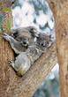 wild koala zoo pouch tree Australia stock photo
