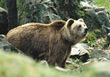 bear grizzly wild predator wildlife brown stock image