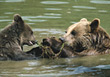 bear grizzly wild stream hunting wildlife stock image