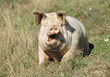 farm ugly animals yawning pigs swine stock photo