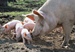 farm piglets animals mud pigs swine stock photo