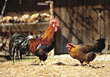 bird farm fowl roosters chickens hen stock photo