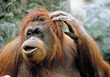 scratch orangutangs zoo apes wildlife primates stock photo