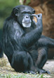 chimpanzee zoo apes wildlife primates monkey stock image