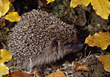 pointy wild animals sharp hedgehogs sting stock image