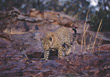 spots wild cat carnivores wildlife big stock photography