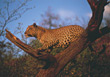 wild cat carnivores wildlife big Africa stock image