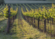 wine vinyards agriculture landscapes winery rows stock image