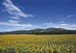 nature blooming sunflowers farms agriculture landscape stock photography