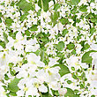Abstract Background Of Apple-tree Branch With White Flowers And Green Leafs. Seamless Pattern For Your Design. Close-up. Studio Photography.