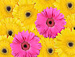 Abstract Background Of Yellow And Pink Flowers. Close-up. Studio Photography stock photo