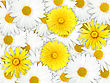 Abstract Background Of Yellow And White Flowers For Your Design. Close-up. Studio Photography.