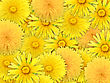 Abstract Background Of Yelow Flowers For Your Design. Close-up. Studio Photography. stock image