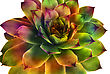 Abstract Crassulaceae Succulent Flower stock photo