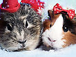 Abstract Funny Backgrounds With Pair Of Guinea Pigs stock photo