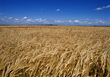 Agriculture - Corn Field stock photography