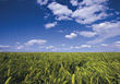 Agriculture - Corn Fields stock image
