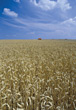 Agriculture - Corn Fields stock photo
