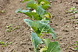 Agriculture And Gardening. Garden With Organically Growing Cabbages