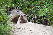 Alpine Baby Marmot And Mother stock image