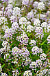 Alyssum White And Lilac Flower On A Lawn On A Background Of Green Leaves stock photo
