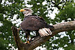 american bald eagle in a tree stock image