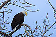 North American Bald Eagle Perched In A Tree stock photo