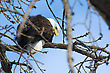 American Bald Eagle Perched In A Tree stock photo