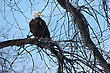 American Bald Eagle Perched In A Tree stock photography