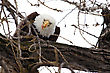 American Bald Eagle Perched In A Tree Eating stock photography