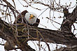 American Bald Eagle Perched In A Tree Eating stock photo