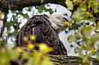 American Bald Eagle Perched In A Tree In HDR High Dynamic Range stock photography