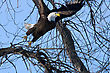 American Bald Eagle Taking Off From Tree Branch stock photo