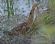 American Bittern Hunting In Florida Wetlands stock image