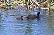 American Coot And Baby Waterhen In Pond Canada stock image