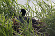 American Coot In Nest In A Saskatchewan Marsh stock photography
