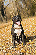 American Staffordshire Terrier Against Yellow Foliage