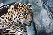 Wildcat Amur Leopard Falling Asleep On A Rock stock photography
