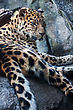 Carnivore Amur Leopard Falling Asleep On A Rock stock photography