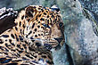 Orientalis Amur Leopard Falling Asleep On A Rock stock photo