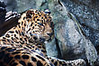 Orientalis Amur Leopard Falling Asleep On A Rock stock image