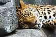 Amur Leopard Resting On A Stack Of Rocks stock photography