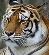 Amur Tiger (Panthera Tigris Altaica) Resting stock photography